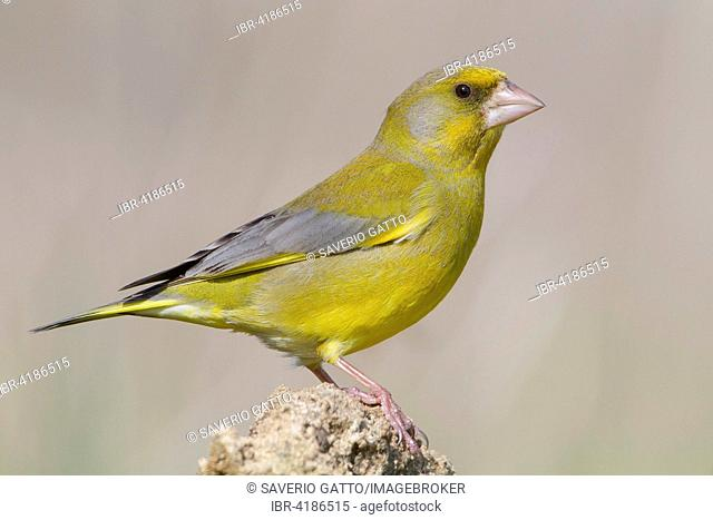 Greenfinch (Carduelis chloris), adult male perched on rock, Campania, Italy