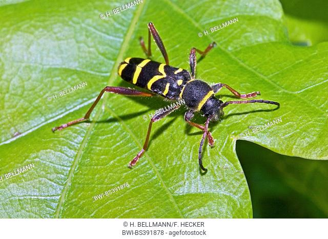 wasp beetle (Clytus arietis), wasp-like colouration for mimikry, Germany