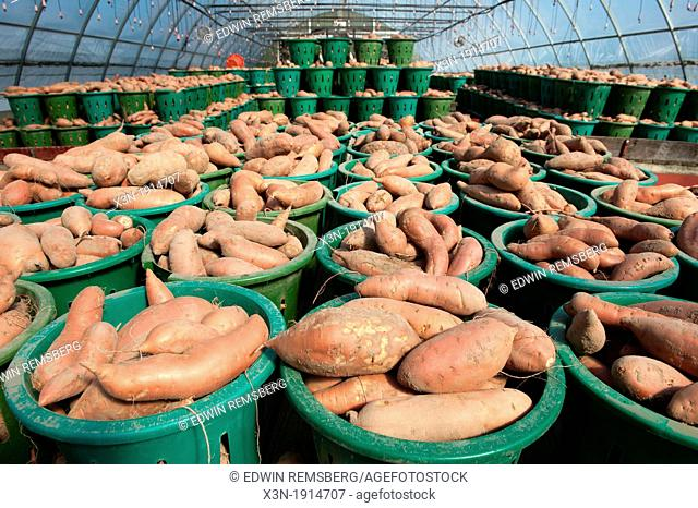Baskets of yams in greenhouse, Anne Arundle County Maryland USA