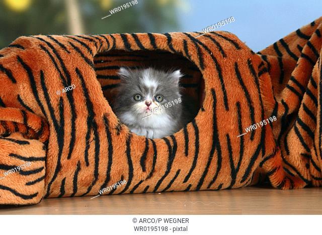 Persian, Cat