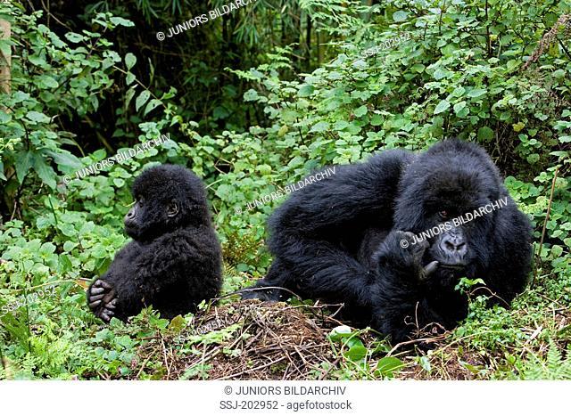 Mountain Gorilla (Gorilla beringei beringei). Mother and infant sitting on the ground. Volcanoes National Park, Rwanda