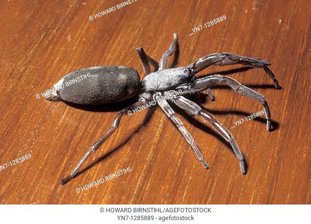 Close view of white tailed spider