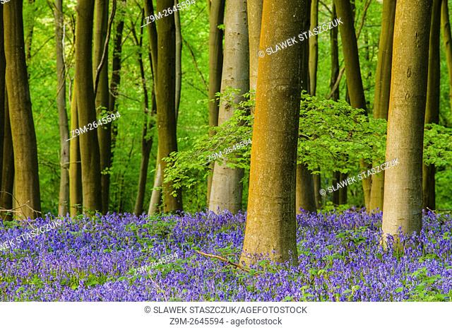 Bluebells in Micheldever Wood, Hampshire, England. Spring evening