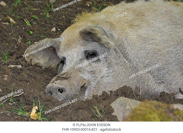 Domestic Pig, Mangalitza sow, resting, close-up of head, England, july