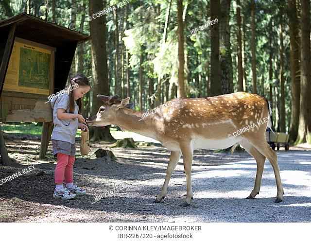 Three-year-old girl hand feeding a fallow deer in a forest, Wildpark Poing wildlife park, Bavaria, Germany, Europe