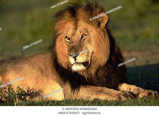 Male Lion, Panthera leo, lying, Maasai Mara Wildlife Sanctuary, Kenya