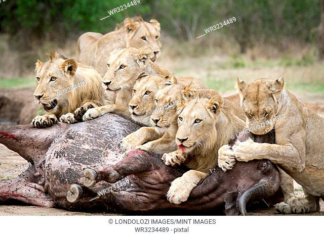 A pride of lions, Panthera leo, lie over a buffalo carcass, Syncerus caffer, looking away, biting muzzle of bloated buffalo, blood on mouth