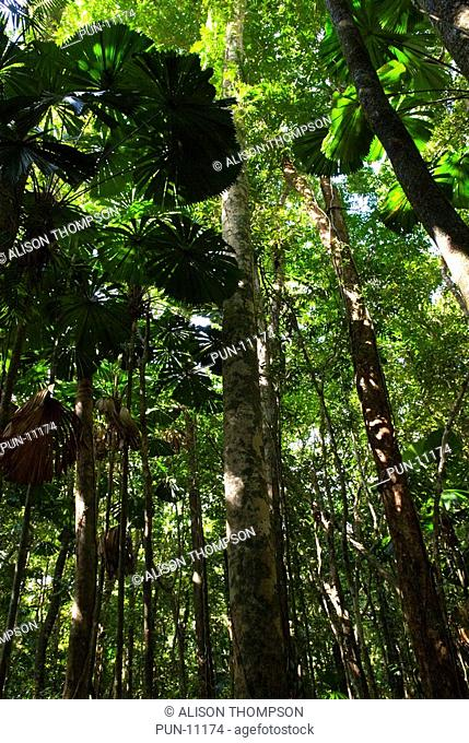 Ancient primary rainforest in the Daintree, Queensland Australia
