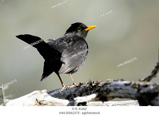Common Blackbird, Turdus merula, Turdidae, male, adult, bird, animal, Brentjong, Leuk, Canton of Valais, Switzerland