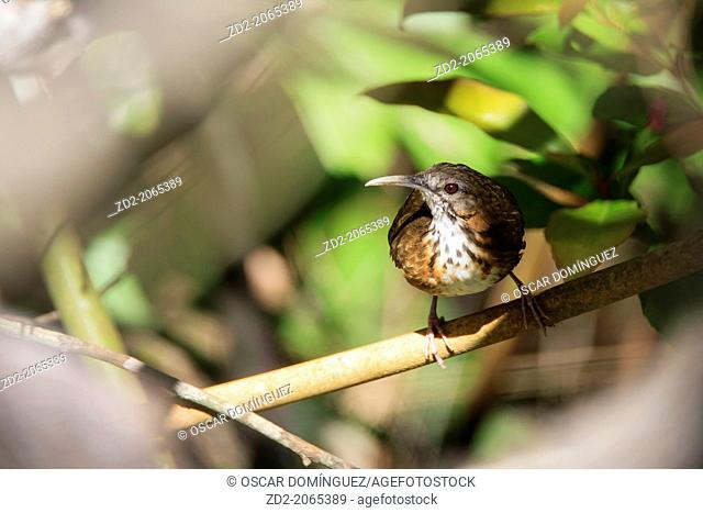 Indochinese Wren-babbler (Rimator danjoui) perched on branch. Bach Ma National Park. Vietnam