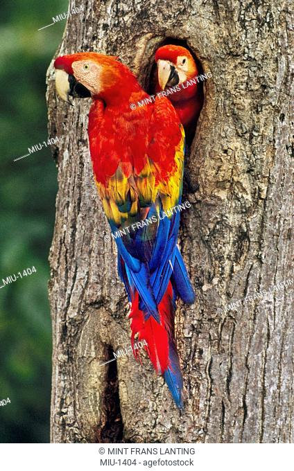 Scarlet macaw with chick, Ara macao, Tambopata National Reserve, Peru