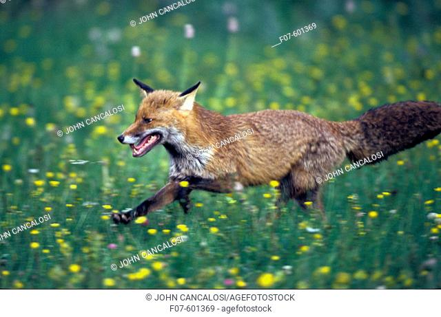 European Red Fox (Vulpes vulpes). Spain. Found in the Arctic, North America, Europe, Asia, Northern Africa and Australia
