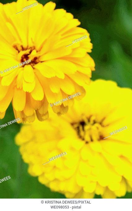 Orange and yellow Calendulas