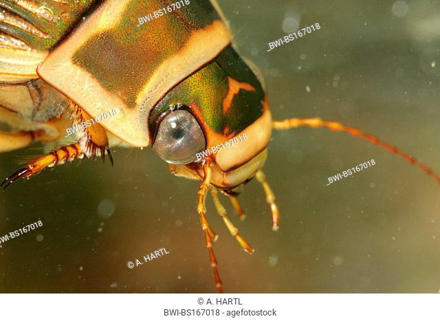 Great diving beetle (Dytiscus marginalis), portrait of a female, Germany, Bavaria