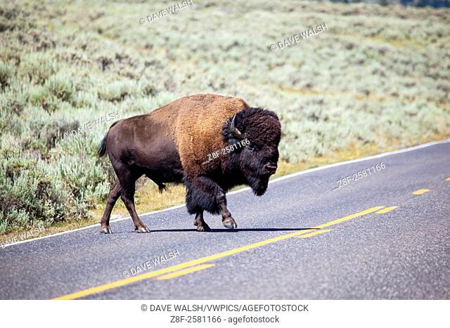 Bison, or American buffalo, crosses 212, North East Entrance Road, the near the Yellowstone River, between Tower Junction and Lamar Valley