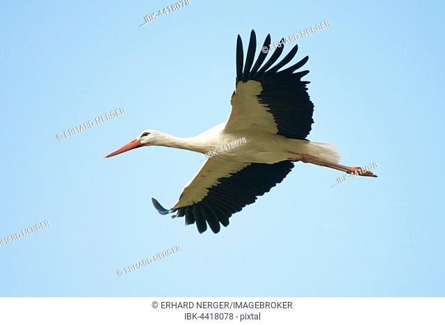 White stork (Ciconia ciconia) in flight, North Rhine-Westphalia, Germany