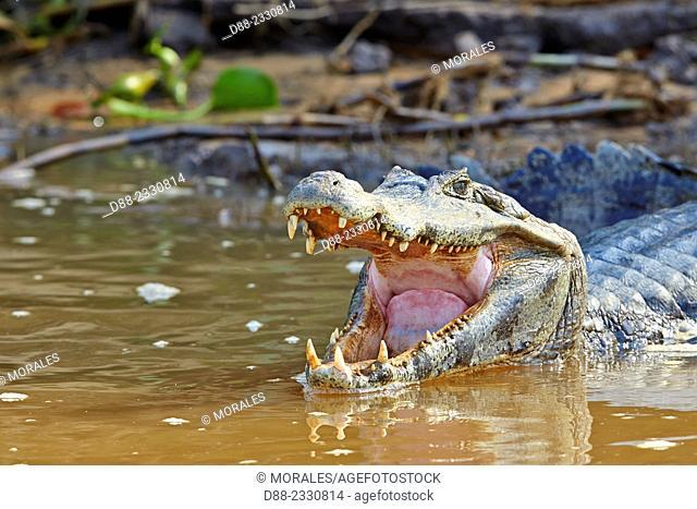 South America,Brazil,Mato Grosso,Pantanal area,Yacare caiman (Caiman yacare),resting on the bank of the river