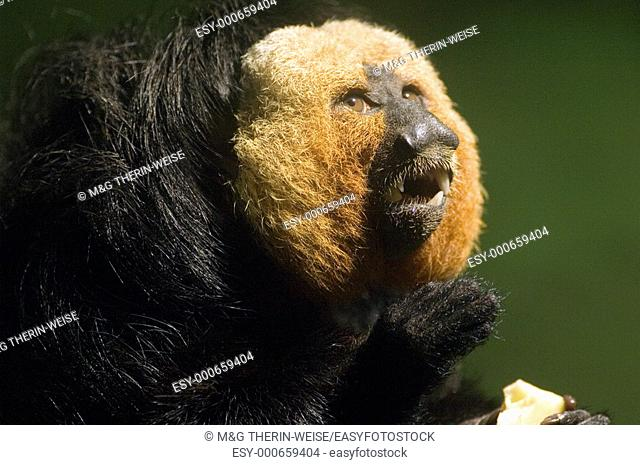White-faced Saki Guianan Saki Monkey, male, Brazil Pithecia pithecia