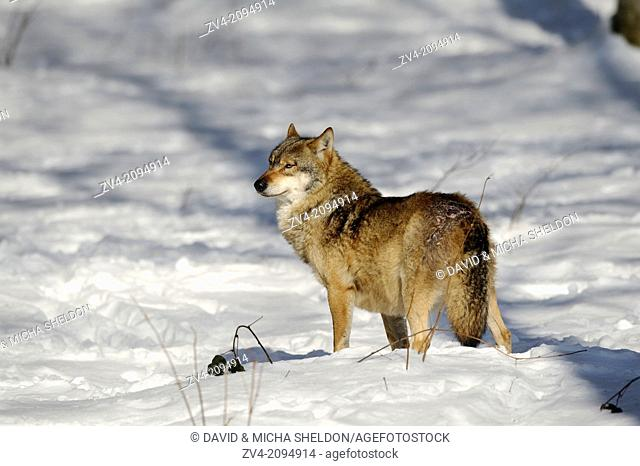 Close-up of a Eurasian wolf (Canis lupus lupus) standing in the snow in the Bavarian Forest, Germany