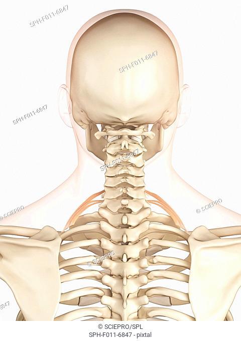 Human back muscles, computer illustration