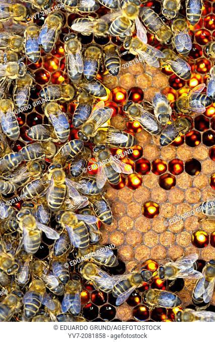 Detail of a bee hive (backlit). Colmenar, Axarquia, Malaga, Andalucia, Spain
