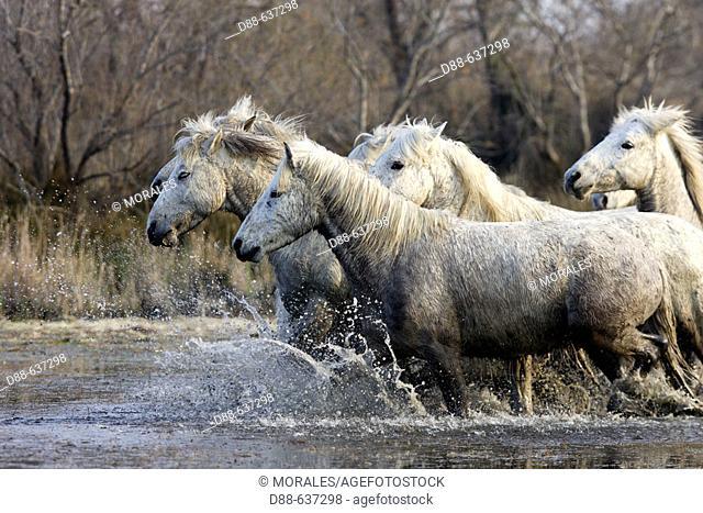 Camargue horses. Saintes-Maries-de-la-Mer. Camargue, Bouches du Rhone. France