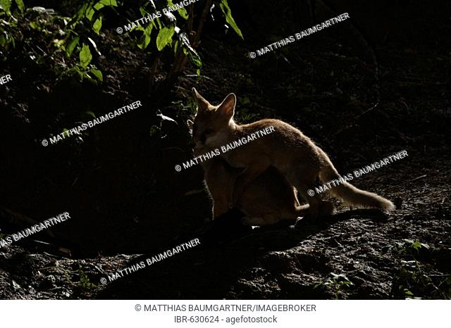 Red Fox (Vulpes vulpes) pups playfully practicing mating behaviour in front of their den by moonlight