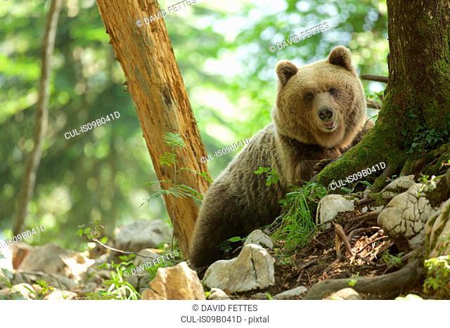 Portrait of brown bear (Ursus arctos) in forest, Markovec, Slovakia