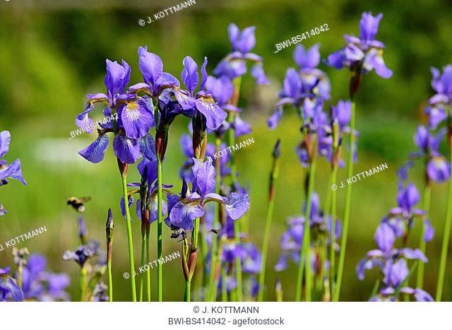 Siberian Iris, Siberian flag (Iris sibirica), flowers, Germany