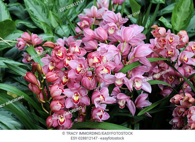 A cluster of flowering pink Cymbidium orchids surrounded by greenery