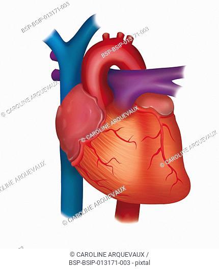 HEART, ANATOMY