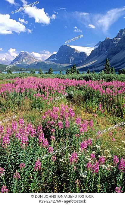 Fireweed at Bow Summit near Bow Lake, Banff National Park, AB, Canada