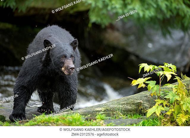American black bear (Ursus americanus) at creek at Neets Bay fish hatchery, Behm Canal in Southeast Alaska near Ketchikan, USA