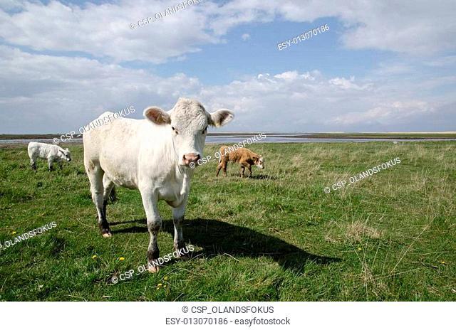 Cattle at coastal pastureland
