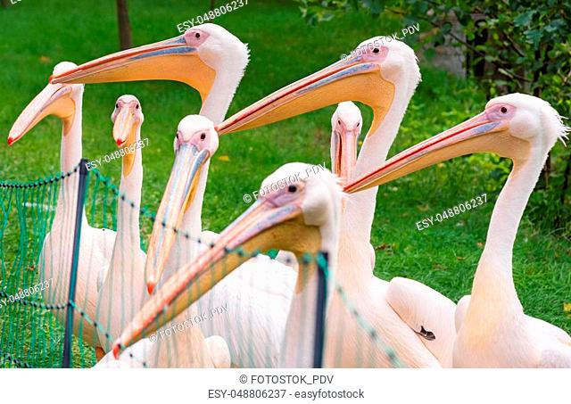 Great White Pelican is a bird in the pelican family. Big bird near the lake