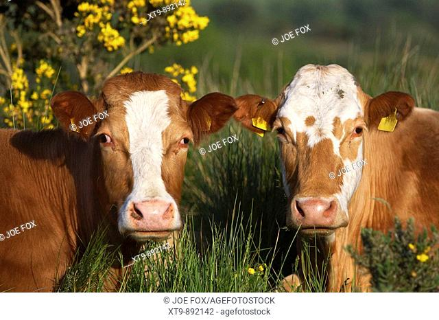 two brown and white cows with ear tags looking to camera in ireland