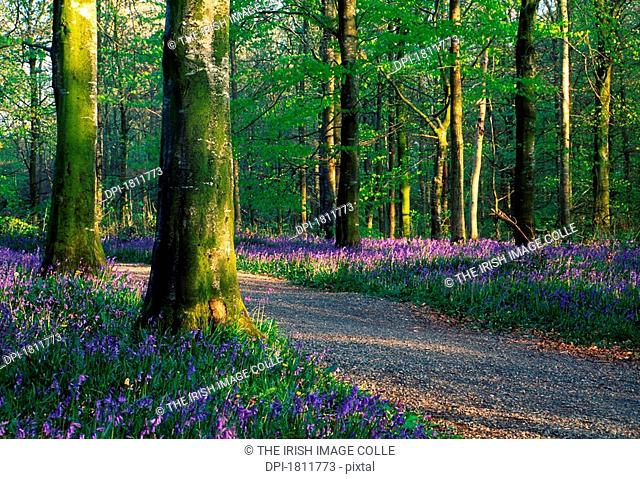 Portglenone Forest with bluebells on the forest floor, Ireland