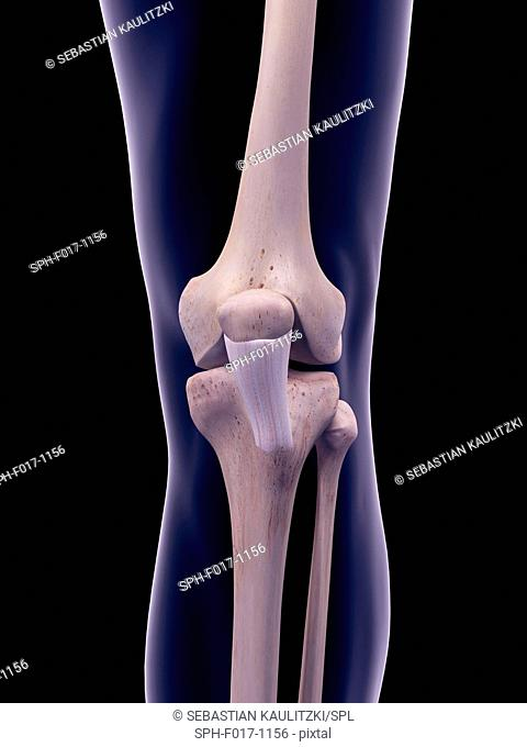 Illustration of the patellar ligament