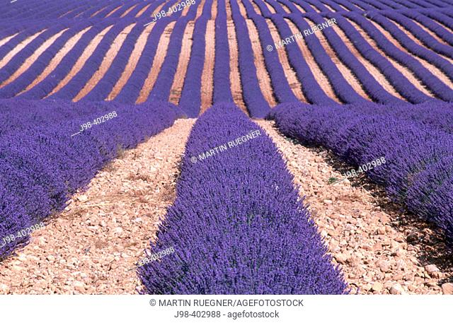 Lavender field. Plateau de Valensole near Valensole. Alpes-de-Haute-Provence. France
