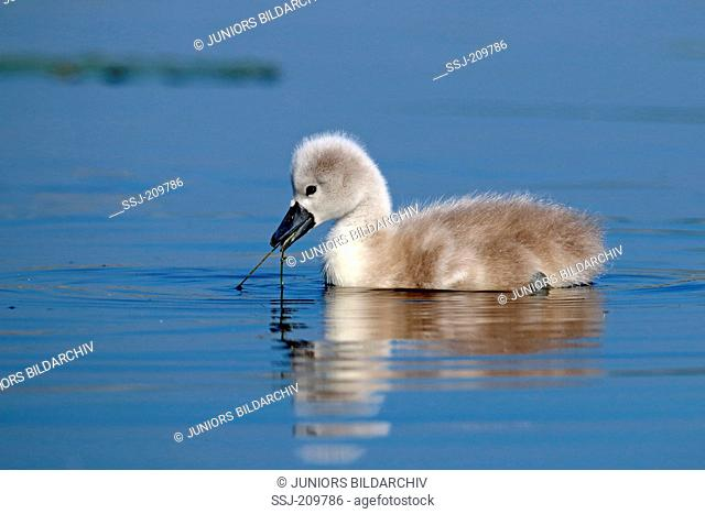 Mute Swan (Cygnus olor). Cygnet swimming while pulling on an aquatic plant. Germany