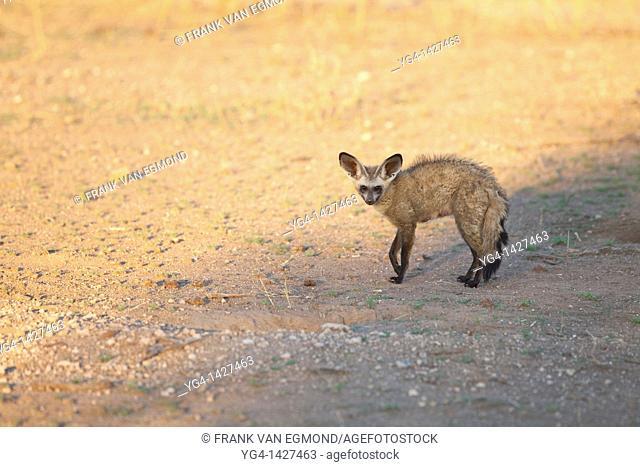 Bat-eared Fox Otocyon Megalotis   Adult   Mashatu Game Reserve  Tuli block, Botswana  November 2010