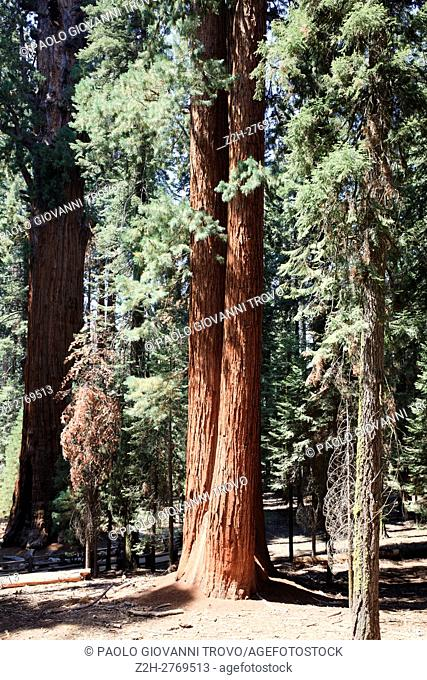Giant Sequoia (Sequoiadendron giganteum) and spruce tree trunks, Sequoia National Park, California, USA