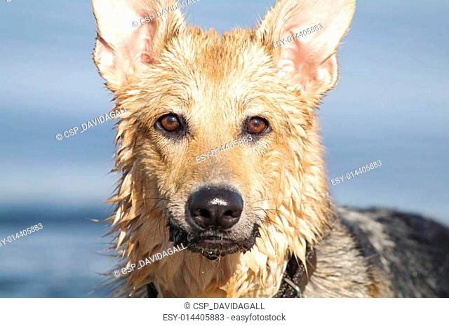 Wet German Shepherd
