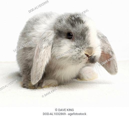 Young Dwarf Lop Rabbit, 4-week-old