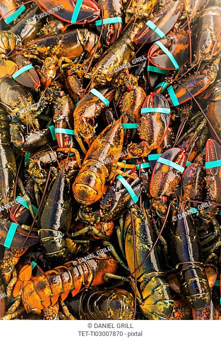 Full frame of fresh lobsters