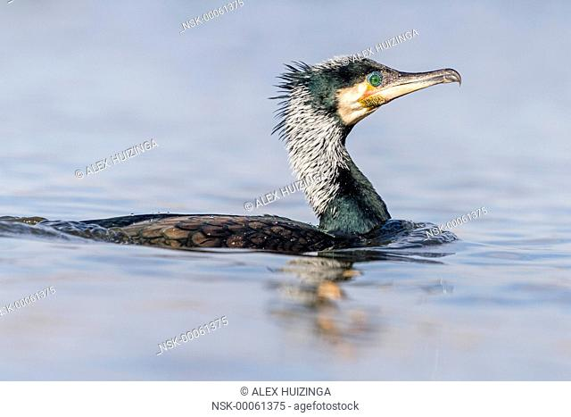 Portrait of Great Cormorant (Phalacrocorax carbo) in spring plumage swimming in the water, The Netherlands, Overijssel, Kampereiland