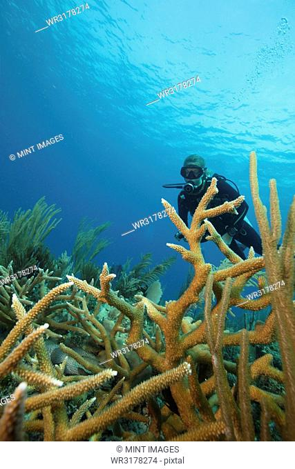A scuba diver underwater. Staghorn coral branches growing up from the reef