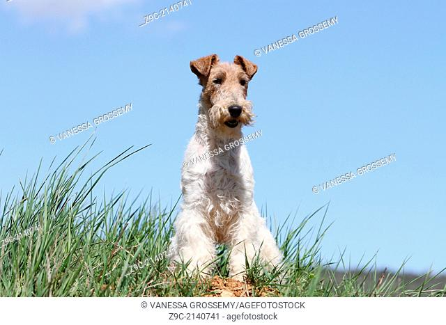 Dog Wire Fox Terrier / adult standing in a meadow