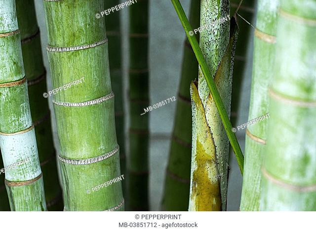 Bamboo, green, bamboo-poles, detail, 03/2006