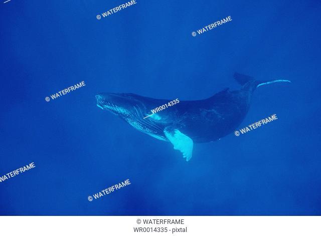 Humpback Whale, Megaptera novaeangliae, French Polynesia, Pacific Ocean, Tahiti